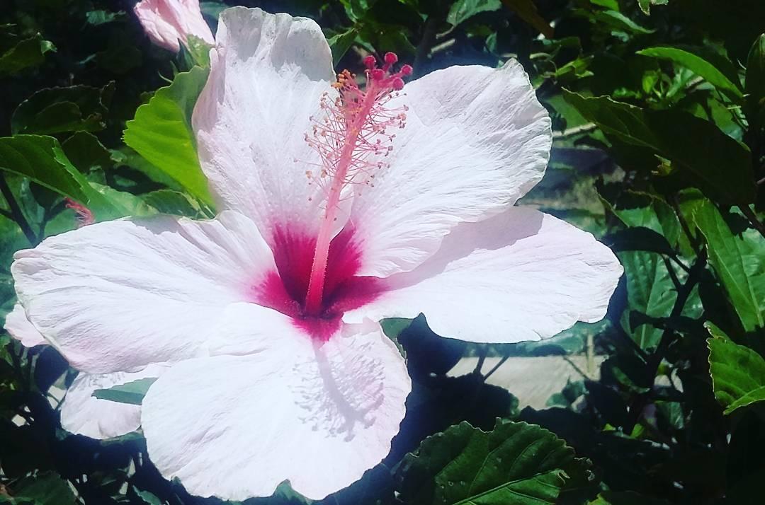Nature en Guadeloupe  regarder l\u0027hibiscus et trouver l